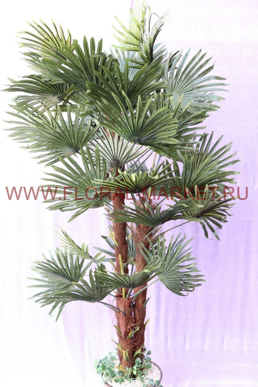 Пальма Веерная 3 ствола Элиот h=155см.