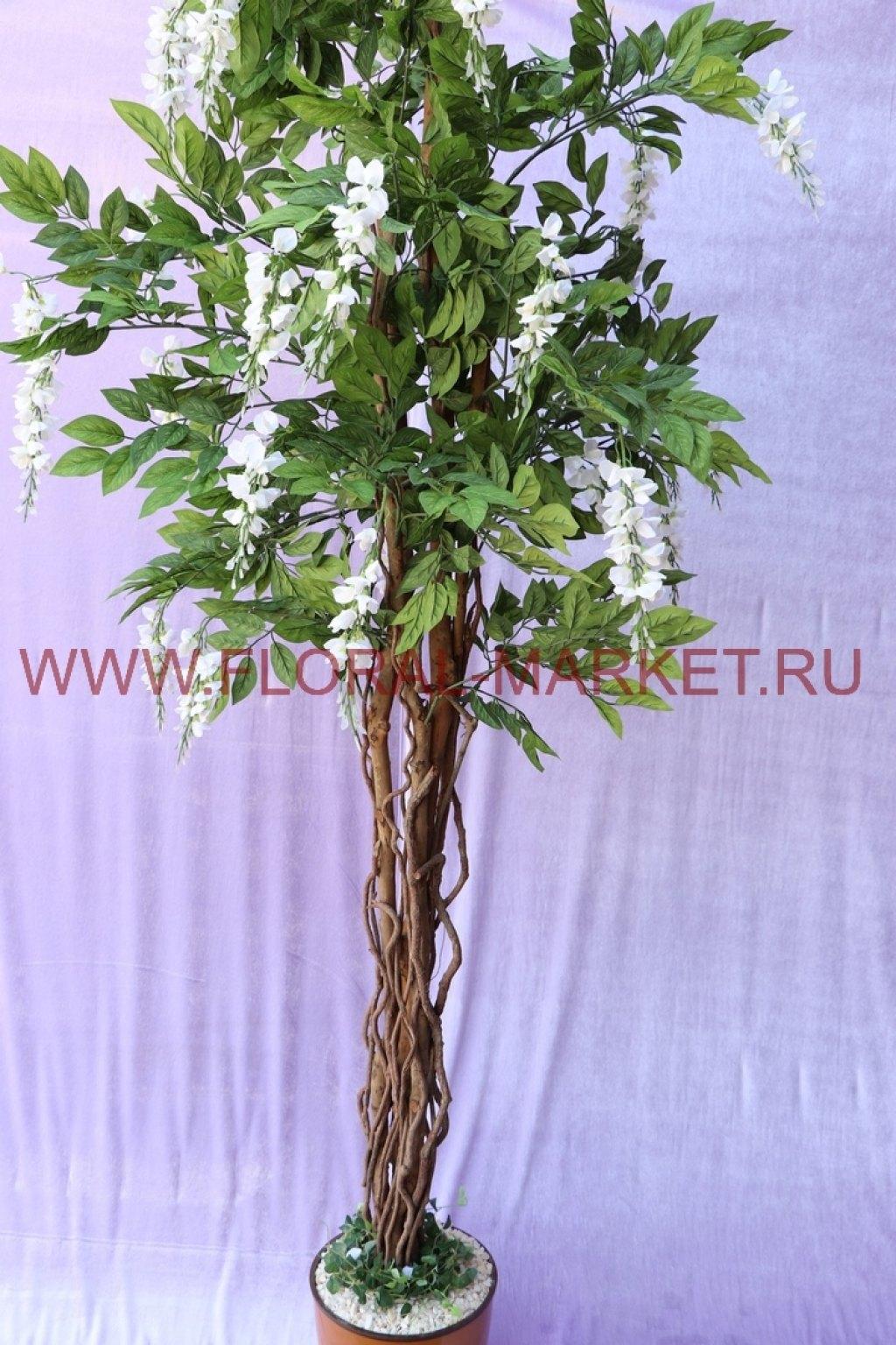 Дерево Акация с цветами h=205см.