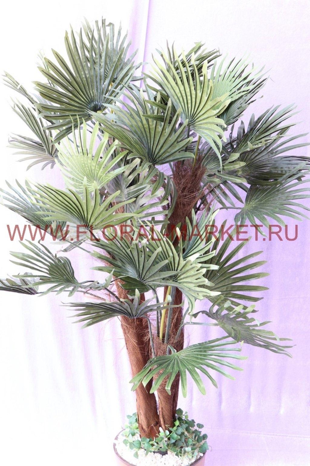 Пальма Веерная 4 ствола Кинг h=145см.