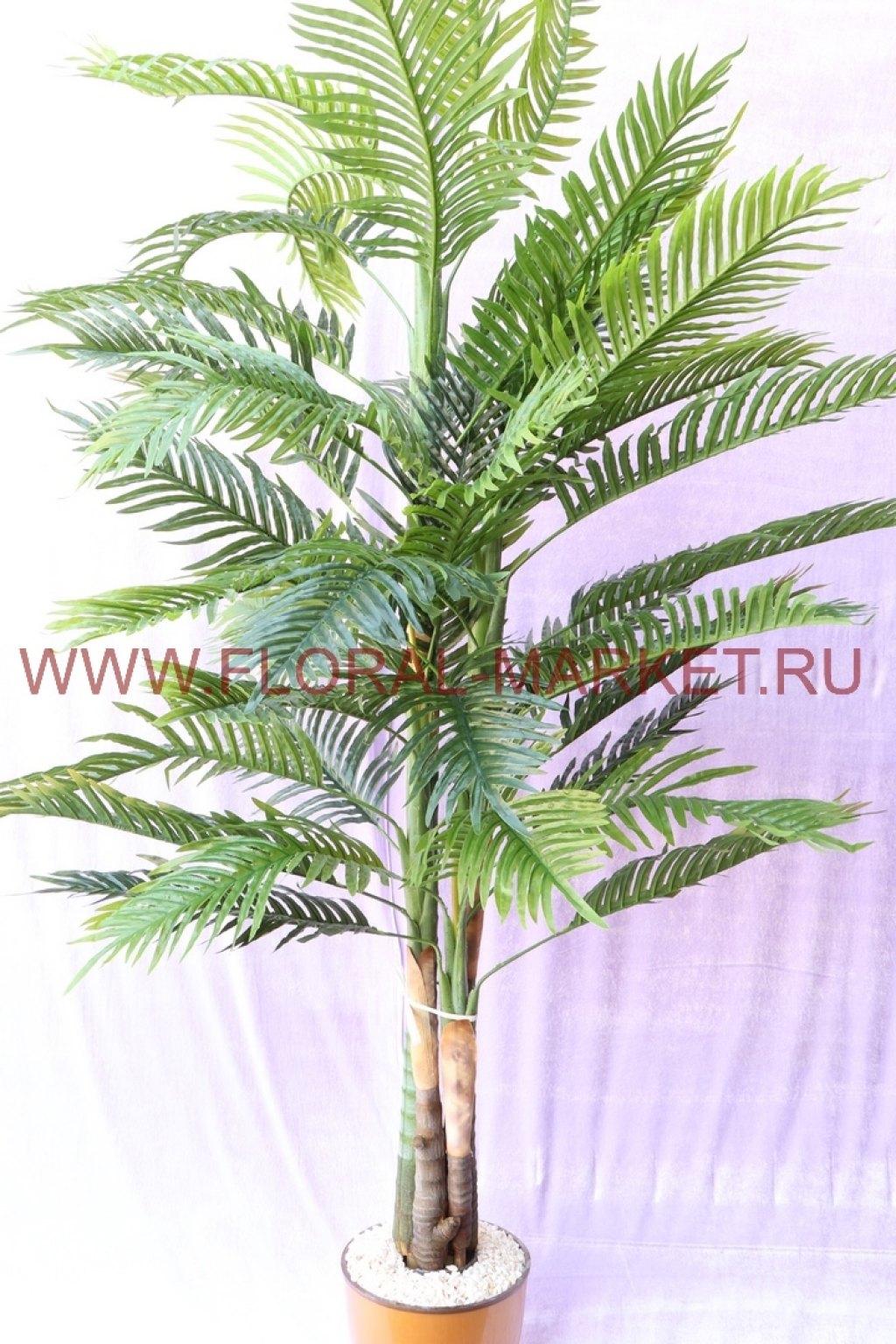 Пальма Финиковая Луиза h=205см.4 ствола